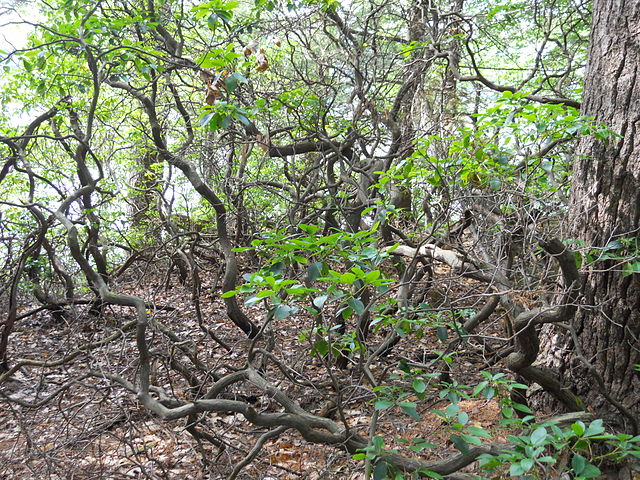 Kalmia latifolia - kalmie à feuilles larges  640px-12