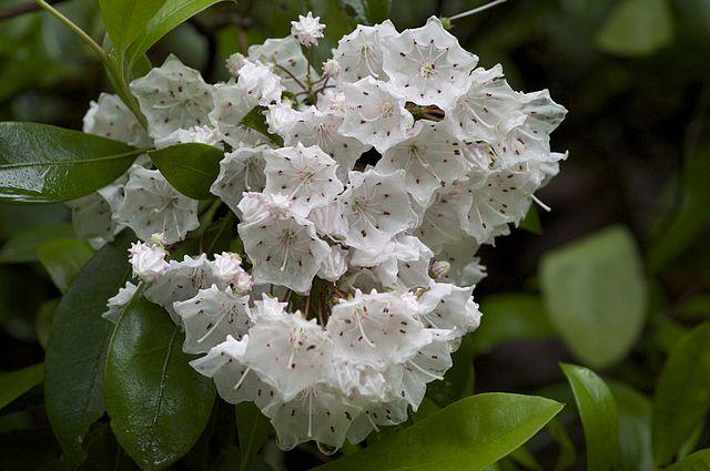 Kalmia latifolia - kalmie à feuilles larges  640px-13