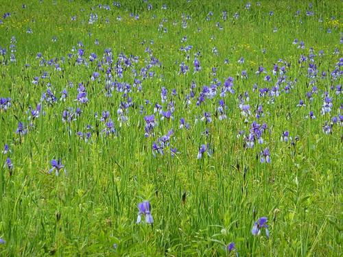 Iris sibirica - iris de Sibérie 640px-14