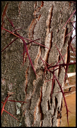 Gleditsia triacanthos, Acer griseum, Betula papyrifera, Liriodendron tulipifera, Eucalyptus [devinette] A11