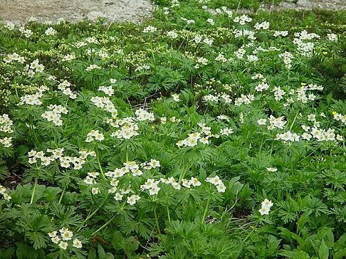 Anemone narcissiflora - anémone à fleur de narcisse Alpsda10