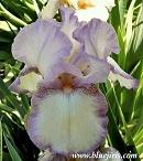 Les Iris plicata - une longue histoire et un bel exemple d'évolution April_10