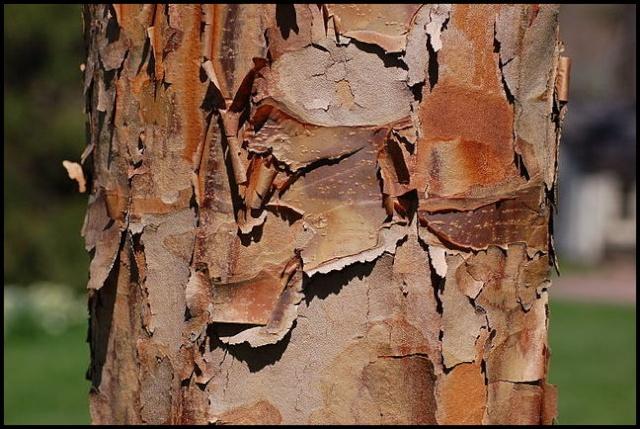 Gleditsia triacanthos, Acer griseum, Betula papyrifera, Liriodendron tulipifera, Eucalyptus [devinette] B11
