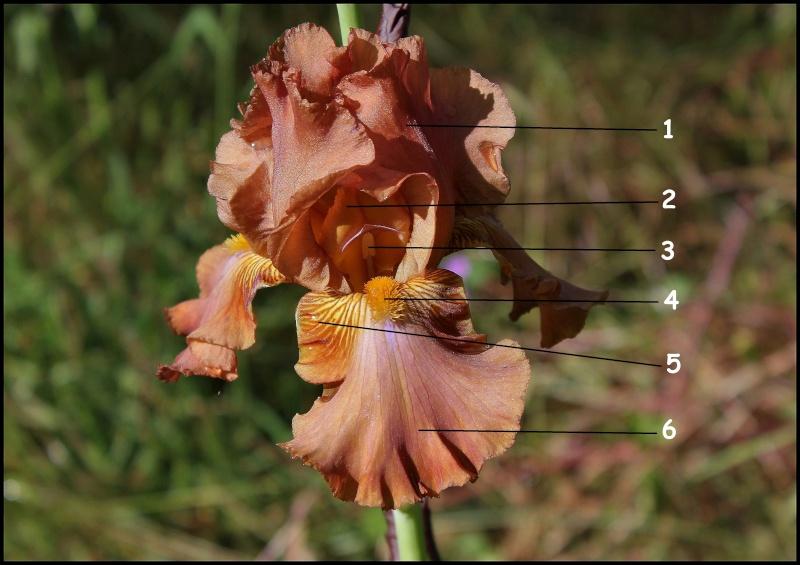 Iris barbus : définitions - classements Boss_t10