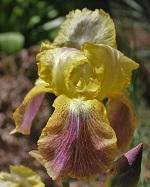 Les Iris plicata - une longue histoire et un bel exemple d'évolution Cancan10