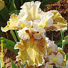 Iris 'Yes' - Blyth 1995 Chimbo10