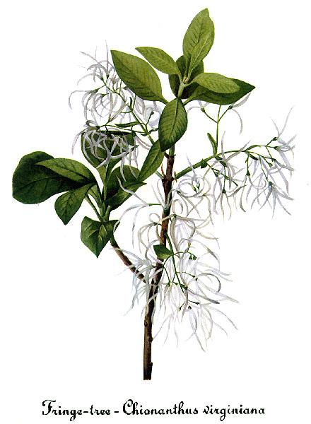 Chionanthus virginicus - chionanthe de Virginie Chiona10