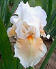 Iris 'Yes' - Blyth 1995 Corals10