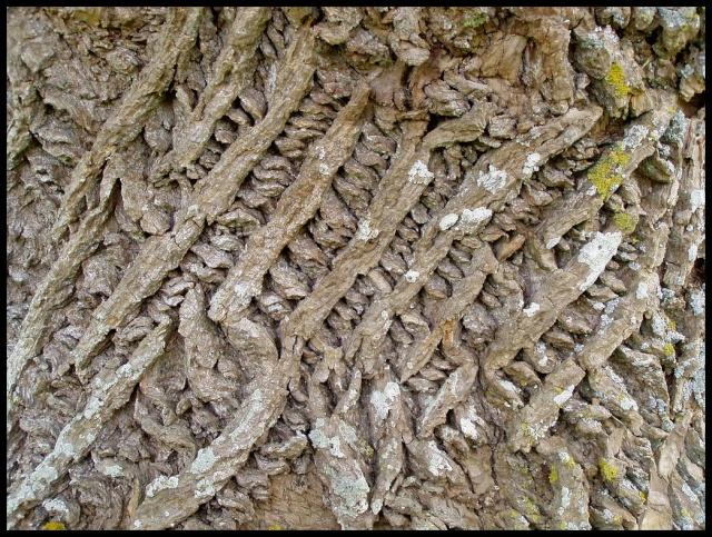 Gleditsia triacanthos, Acer griseum, Betula papyrifera, Liriodendron tulipifera, Eucalyptus [devinette] D11