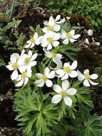 Anemone narcissiflora - anémone à fleur de narcisse Dadero10