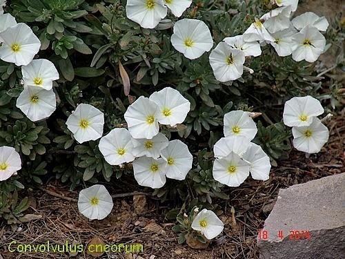 Convolvulus cneorum - liseron de Turquie Dsc03810