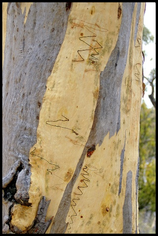 Gleditsia triacanthos, Acer griseum, Betula papyrifera, Liriodendron tulipifera, Eucalyptus [devinette] E11