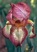 Les Iris plicata - une longue histoire et un bel exemple d'évolution Firecr11
