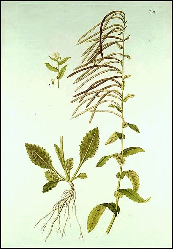 Pseudoturritis turrita (= Arabis turrita) - arabette tourette Florae10