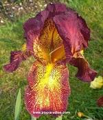 Les Iris plicata - une longue histoire et un bel exemple d'évolution Gala_f11