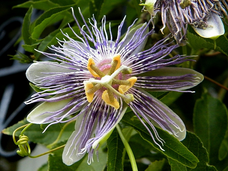 Passiflora edulis var. kerii (= Passiflora incarnata) Incarn11
