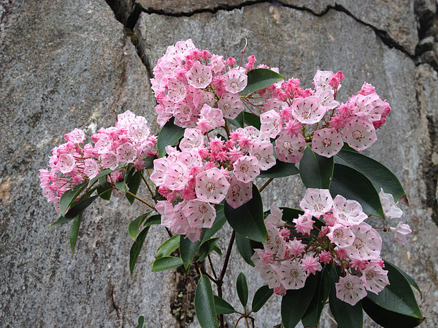 Kalmia latifolia - kalmie à feuilles larges  Kalmia10