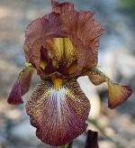 Les Iris plicata - une longue histoire et un bel exemple d'évolution King_k10