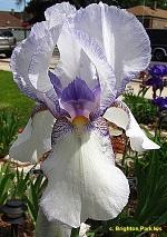 Les Iris plicata - une longue histoire et un bel exemple d'évolution Los_an10