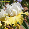 Iris 'Champagne Frost' - Keith Keppel 1996 Luckyl10