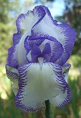 Les Iris plicata - une longue histoire et un bel exemple d'évolution Mmeche10