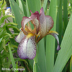 Les Iris plicata - une longue histoire et un bel exemple d'évolution Mmelou11