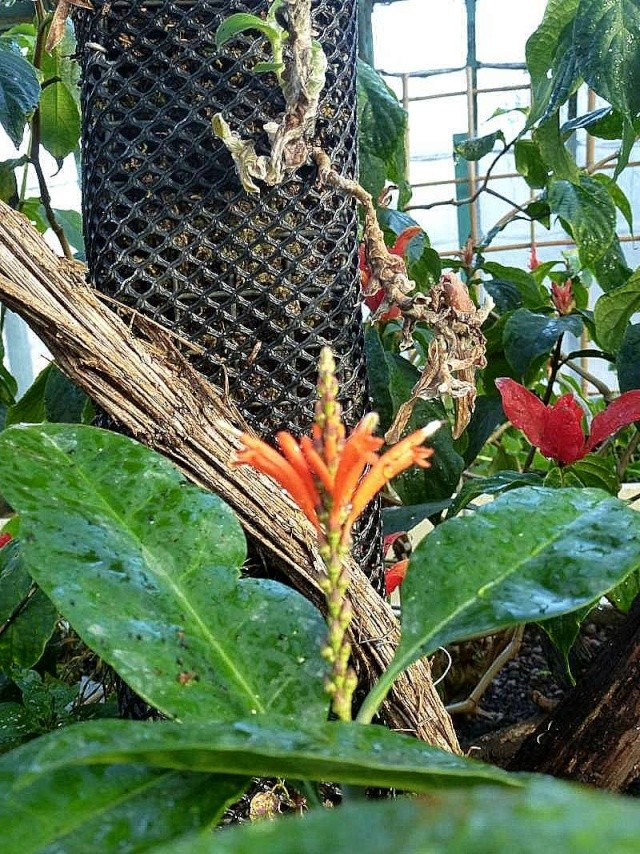 Geissomeria longiflora  P1160610