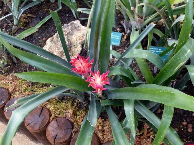 Billbergia pyramidalis  P1160712