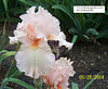 Iris 'Champagne Frost' - Keith Keppel 1996 Paradi10