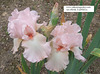 Iris 'Champagne Frost' - Keith Keppel 1996 Pink0610