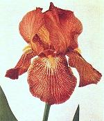 Les Iris plicata - une longue histoire et un bel exemple d'évolution Richra10