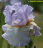 Iris 'Champagne Frost' - Keith Keppel 1996 Rippli10