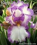 Les Iris plicata - une longue histoire et un bel exemple d'évolution Rippli11