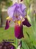 Histoires d'iris - l'héritage d'Arthur John Bliss Romola10