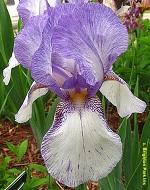 Les Iris plicata - une longue histoire et un bel exemple d'évolution San_fr10