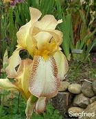 Les Iris plicata - une longue histoire et un bel exemple d'évolution Siegfr13