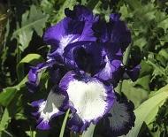 Les Iris plicata - une longue histoire et un bel exemple d'évolution Steppi12