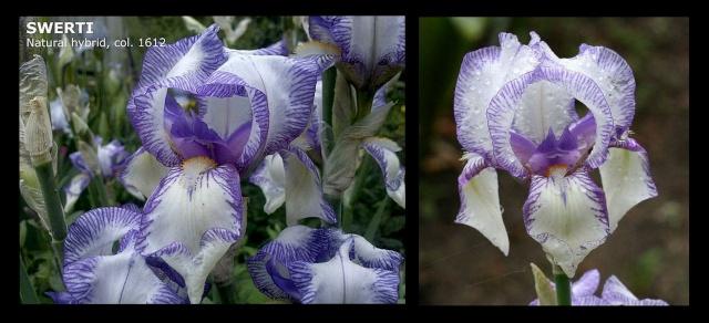 Les Iris plicata - une longue histoire et un bel exemple d'évolution Swerti12