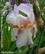Les Iris plicata - une longue histoire et un bel exemple d'évolution Syduct10