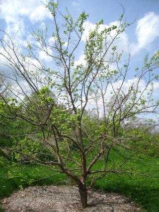Syringa reticulata subsp. pekinensis - lilas de Pékin Syring12