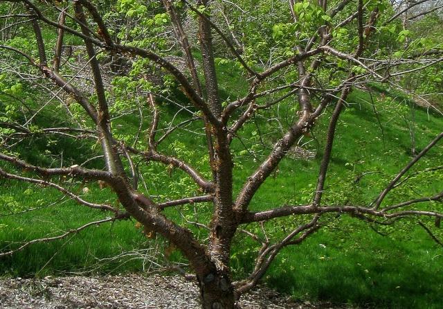 Syringa reticulata subsp. pekinensis - lilas de Pékin Syring13