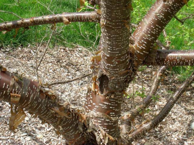 Syringa reticulata subsp. pekinensis - lilas de Pékin Syring14