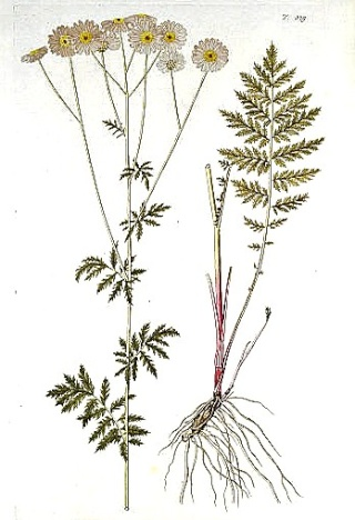 Tanacetum corymbosum - tanaisie en corymbes Tanace10