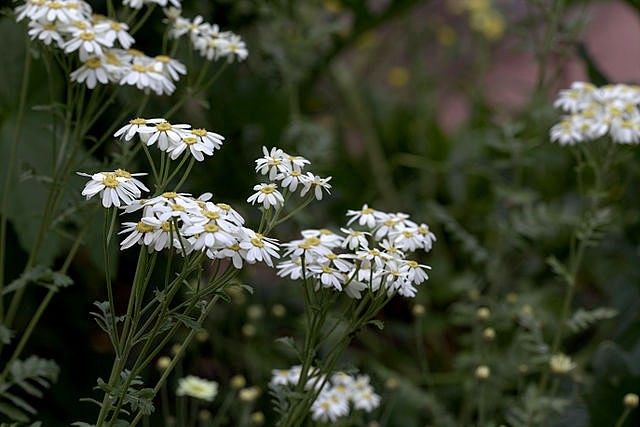 Tanacetum corymbosum - tanaisie en corymbes Tanace11