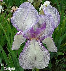 Les Iris plicata - une longue histoire et un bel exemple d'évolution True-d10