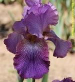 Les Iris plicata - une longue histoire et un bel exemple d'évolution Victor10