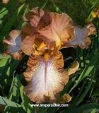 Les Iris plicata - une longue histoire et un bel exemple d'évolution Wild_g10