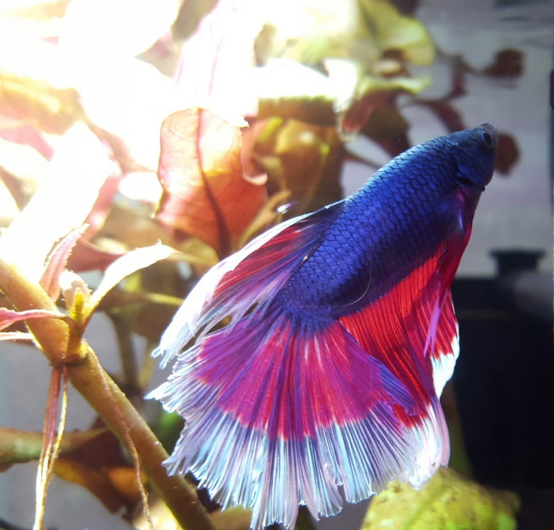 Mon Betta HM 3 couleurs 510