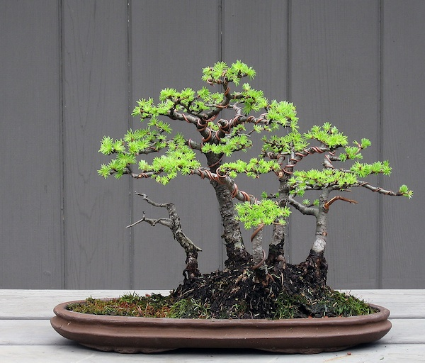 Restyling an old shohin Larch group Larch_12