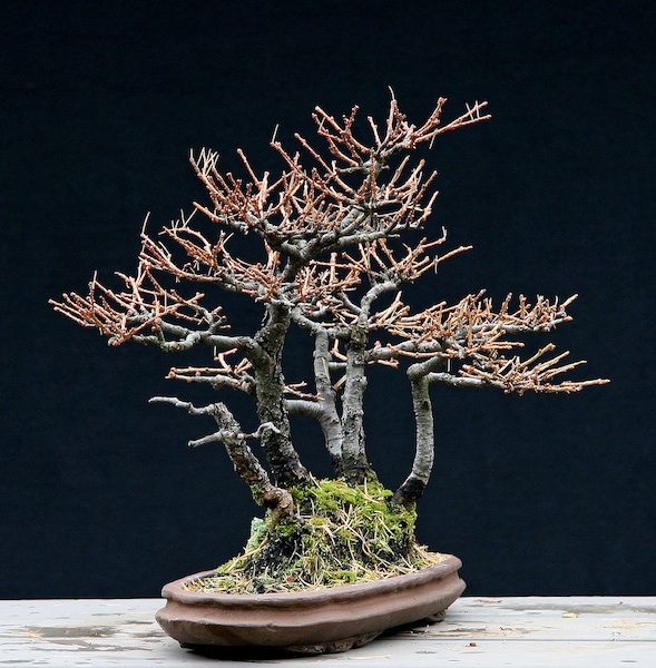 Restyling an old shohin Larch group Larix_10